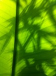 Bamboo shadows on banana leaf.