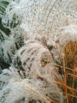 Cascade of grasses in seed.