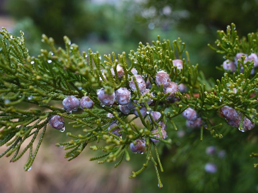 Juniper berries with water droplets.