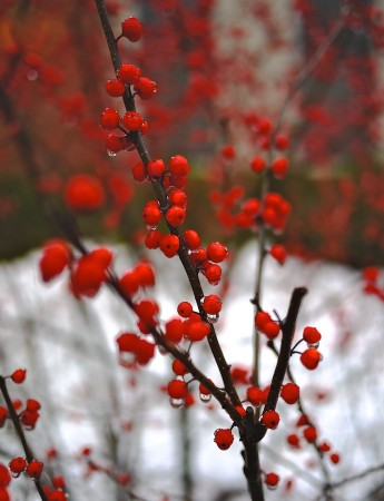 Red berries in the rain & snow.