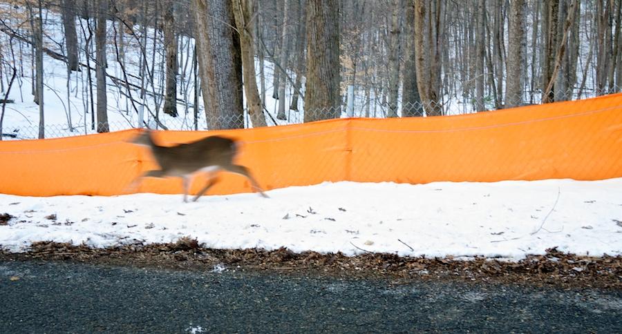 Deer, Great Falls, MD