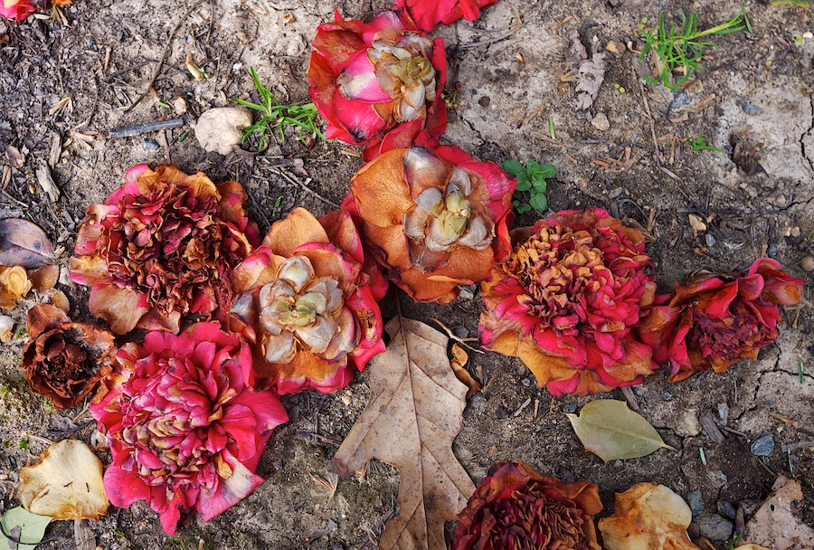 Camellias on the ground