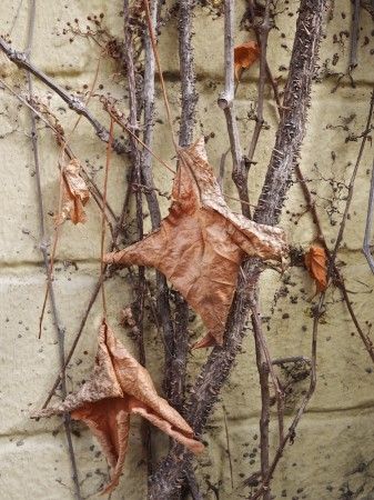 Dried leaves on a vine.
