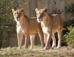 Lionesses, National Zoo, DC