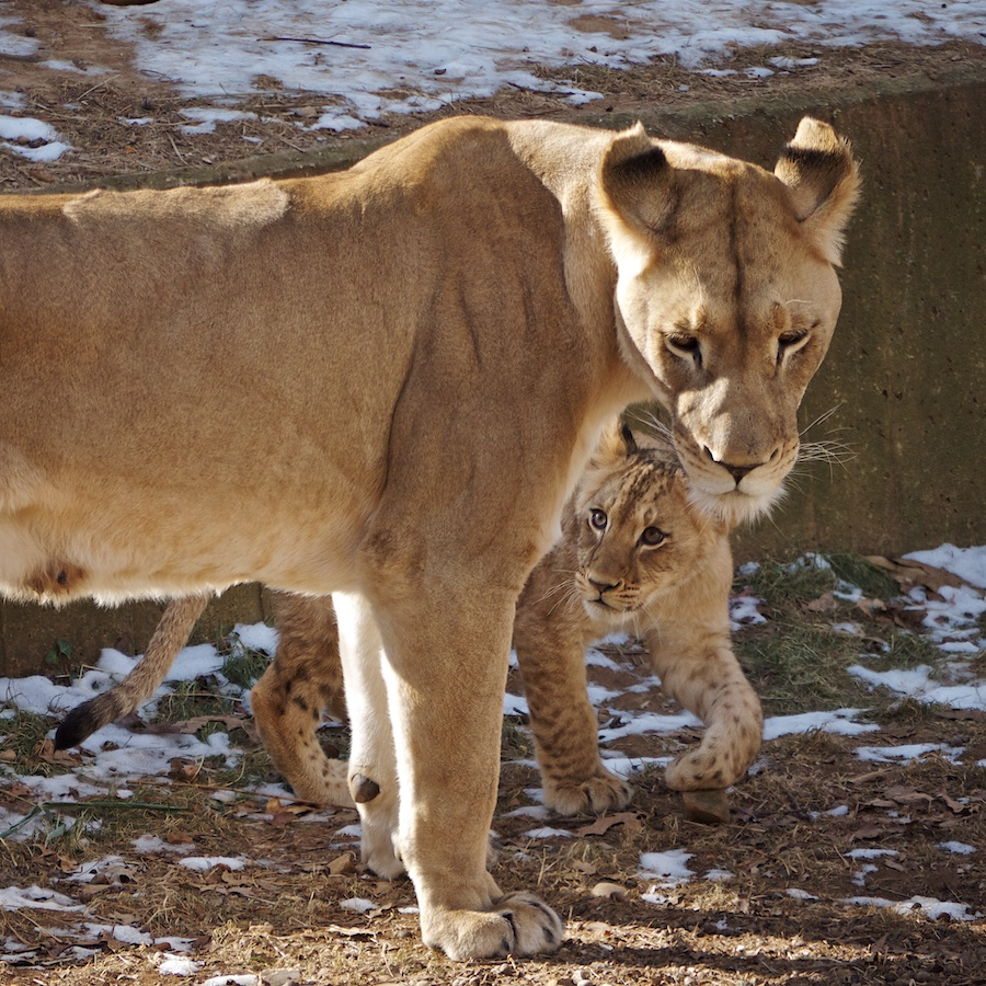 Lioness and cub, National Zoo, DC