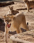 Lioness and cubs, National Zoo, DC