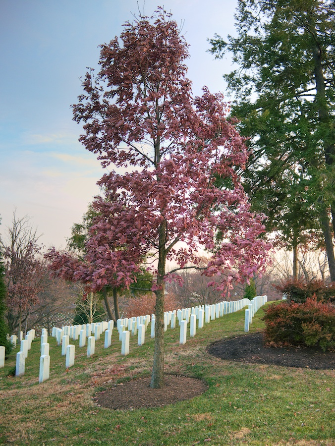 Oak tree in winter, Arlington National Cemetery, VA