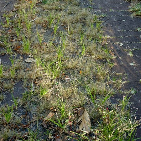 Grass growing through brick pavement.