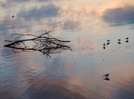 Gulls on the Potomac at Sunset