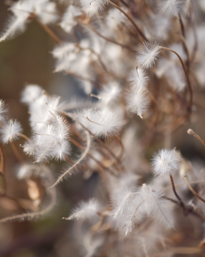 Fluffy seed-tails