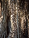 Aerial roots, banyan tree, Ft. Myers, FL