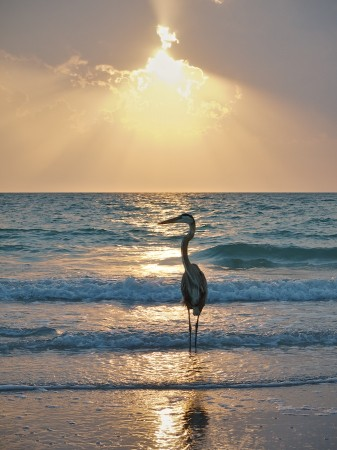 Great Blue Heron, Captiva Beach, FL