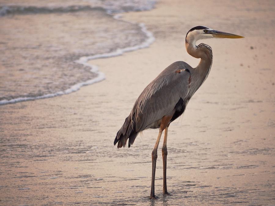 Great Blue Heron, Captiva, FL