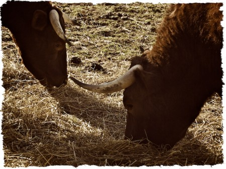 Cattle eating hay.