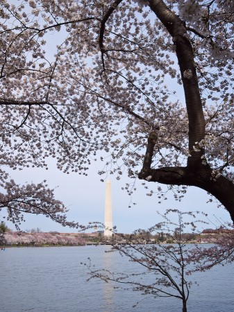 Cherry Blossoms, Washington Monument, DC
