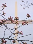 New cherry blossoms with Washington Monument in background.