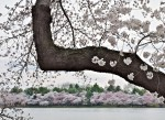 Cherry branch and blossoming trees, Tidal Basin, Washington, DC