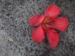 Bruised kapok flower on the ground
