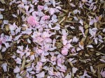 Fallen petals and wood mulch
