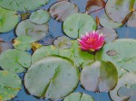 Lily pond with flower and frog.