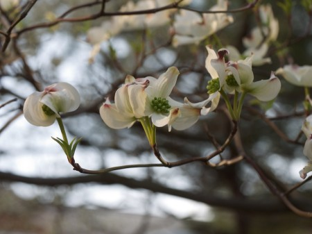 Unedited image of dogwoods.