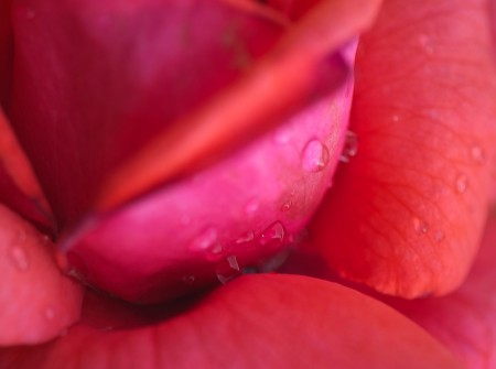 Close up of raindrops on rose.