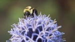 Bumblebee on bloom.