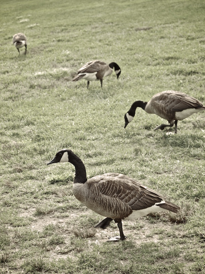 Four geese grazing.