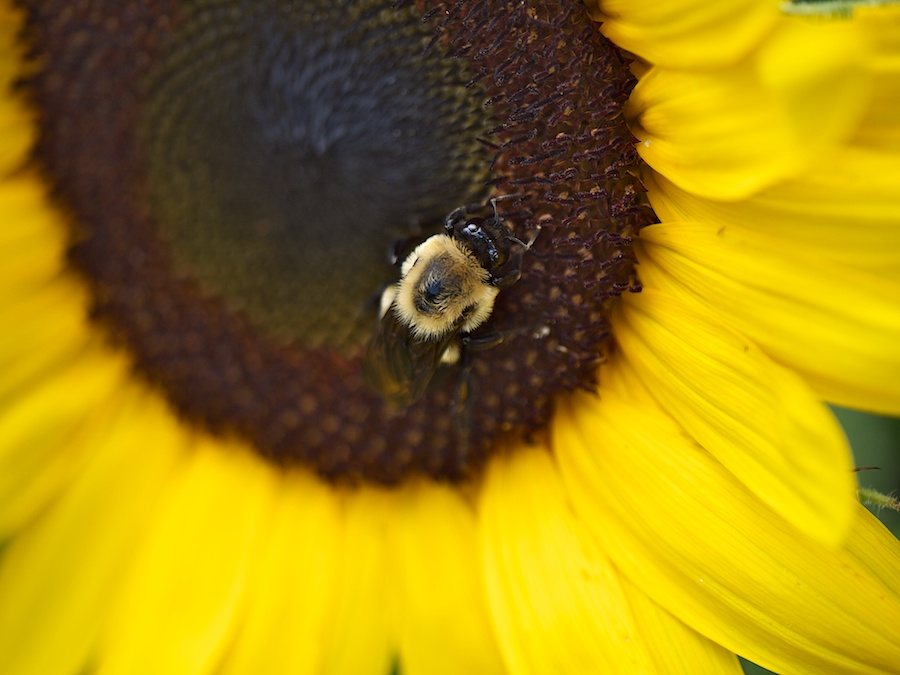 Bee collecting pollen in sunflower.