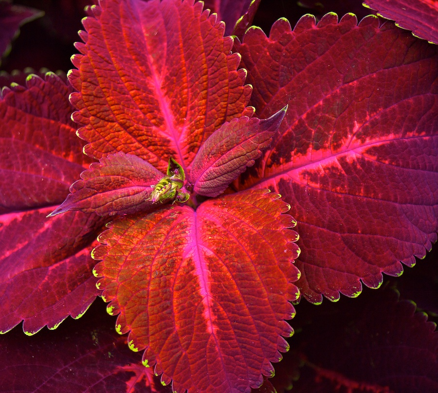 Intense reds and pinks on leaves.