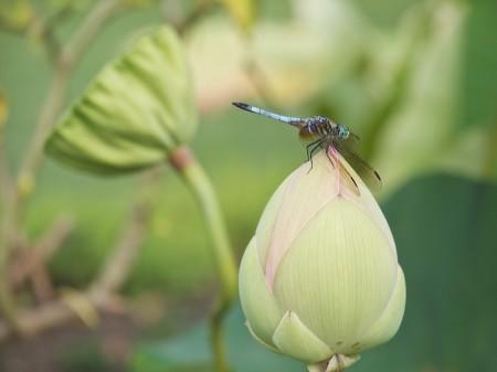 Dragonfly on lotus bud.