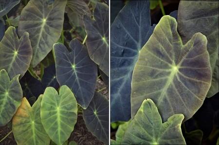 Taro plant.