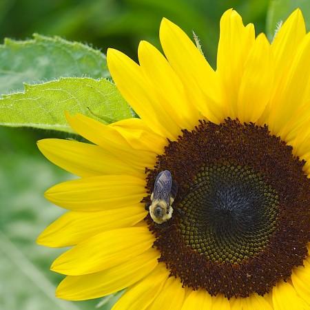 Bee collecting pollen in sunflower.
