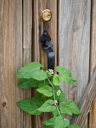 Climbing plant around door handle.