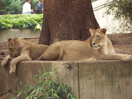 Lioness and cub, National Zoo, Washington DC