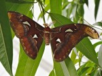 Atlas Moth at Brookside Gardens