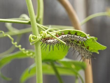 Two caterpillars.