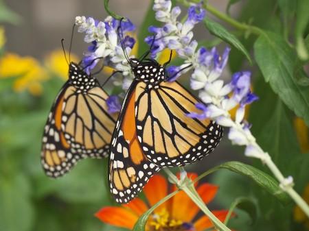 Monarch butterflies feeding on nectar.