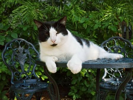 Polydactylic cat at Hemingway House, Key West, FL