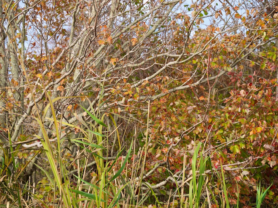 Fall colors in bushes and reeds.