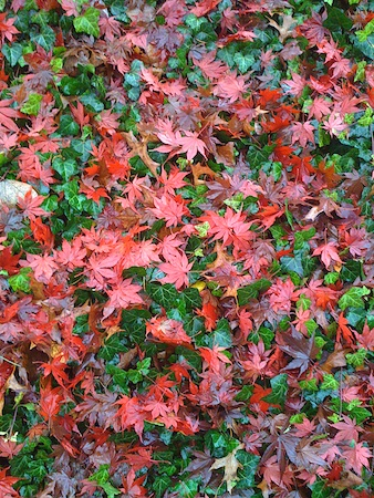 Japanese maple leaves and ground ivy.