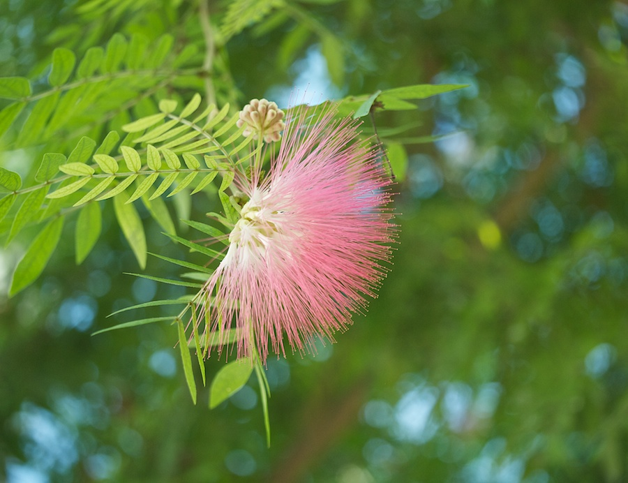 Spiky pink blossom, Key West.