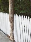 Tree trunk interrupting picket fence.