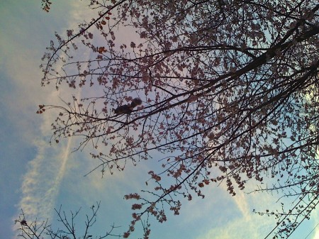 Squirrel in cherry tree.