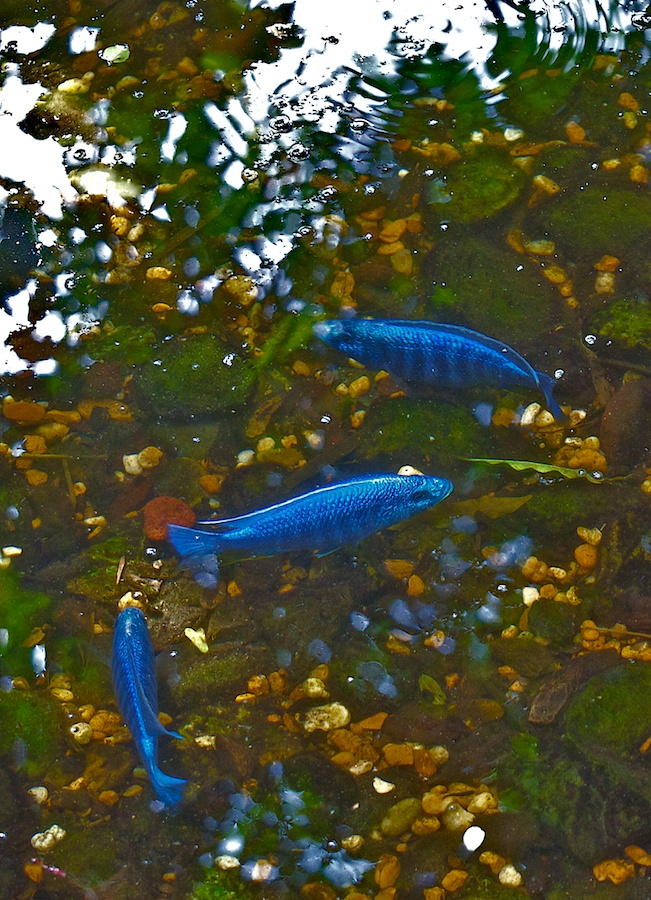 Bright blue fish in pond.