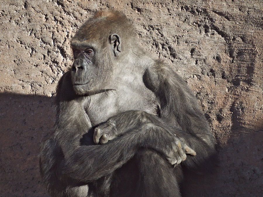 Gorilla, Albuquerque Zoo, NM