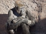 Gorilla, Albuquerque Zoo