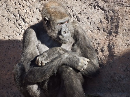 Gorilla, Albuquerque Zoo