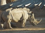 Rhinoceros, Albuquerque Zoo, NM