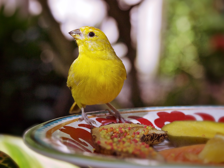 Little yellow bird on plate of fruit and candy.